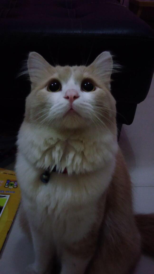 Bingung Ini kucing British atau persia ya