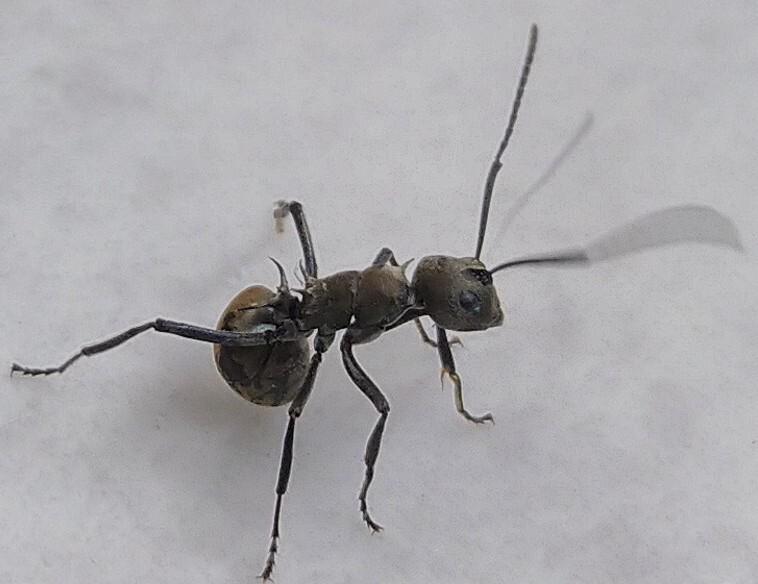 ini semut apa ya ?